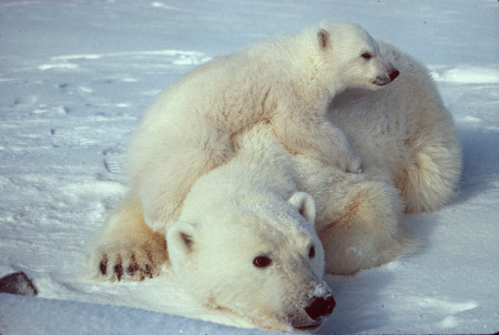 ursus_maritimus_polar_bear_with_cub_2scaled