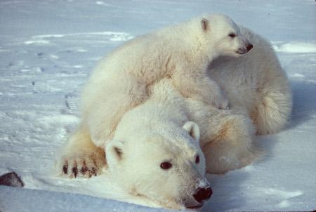 ursus_maritimus_polar_bear_with_cub_2scaled